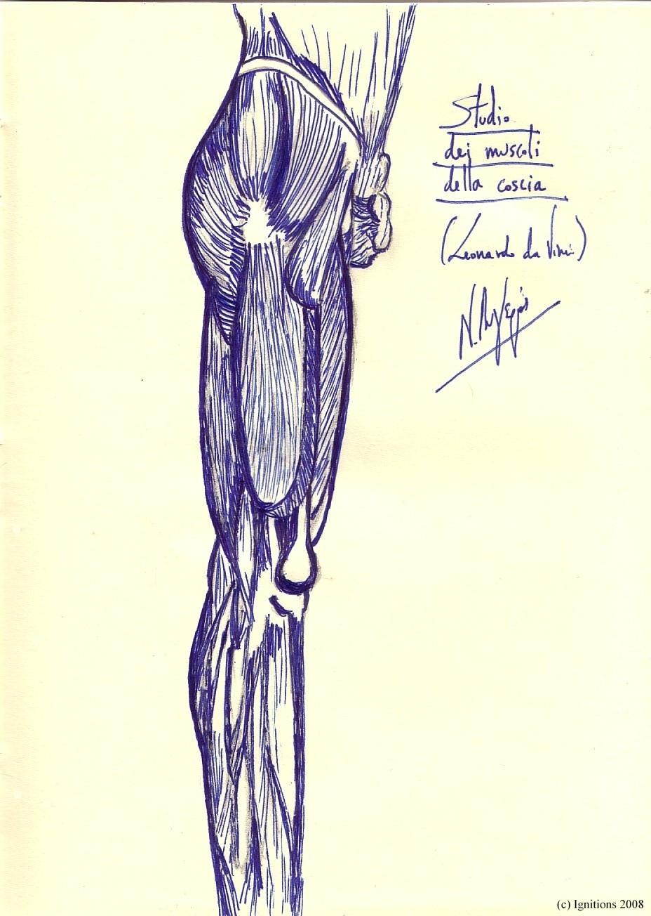 Studio dei muscoli della coscia. (Leonardo da Vinci)