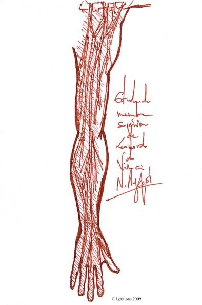 Etude anatomique du membre supérieur de Leonardo da Vinci.
