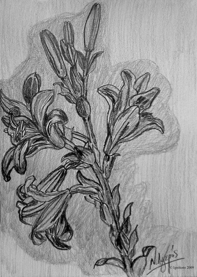 Etude de Lilium candidum de Leonardo da Vinci.