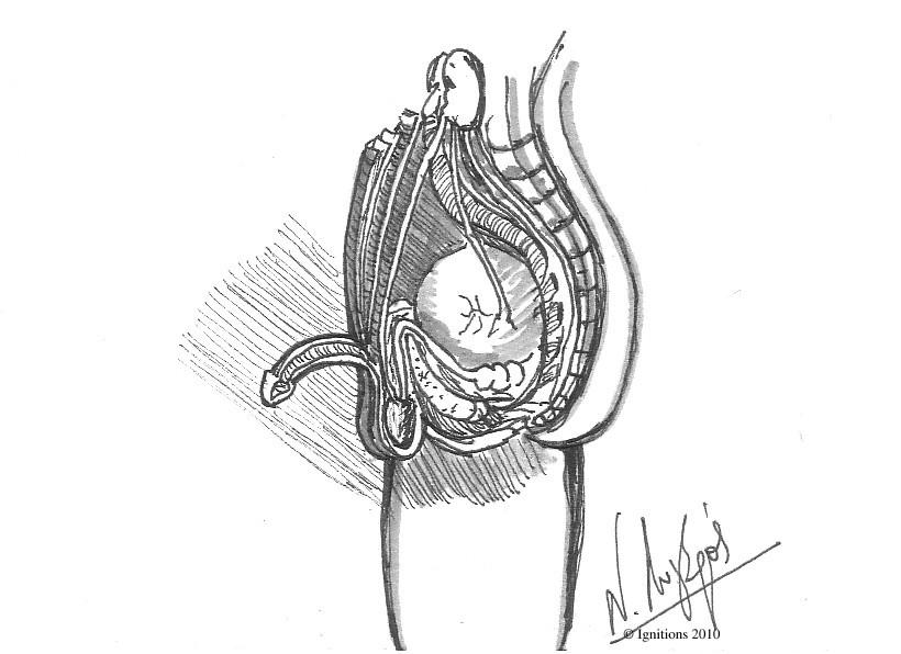 Dessin anatomique des organes génitaux de l'homme d'après Leonardo da Vinci.